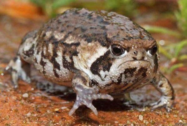 надулась жаба